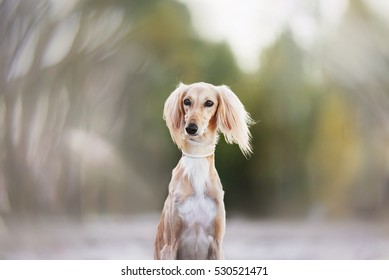 Young saluki (persian greyhound) playing be the sea