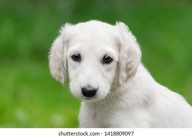 Young Saluki (persian greyhound) puppy with a light colored coat, portrait of a cute baby dog sitting in a green meadow, looking curiously with wide eyes