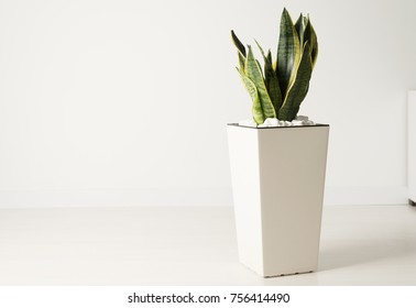 Young Sansevieria in a white pot, evergreen plant.