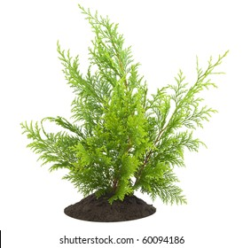 Young sapling of evergreen thuja  on bed, isolated on white  postcard background.