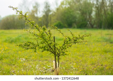Young sapling seen planted in a large nature reserve during late spring. Protected by plastic to prevent animals eating the young plant, it can be seen a large, lush meadow.