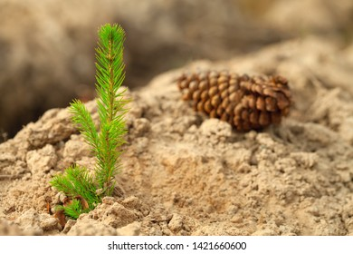 A young sapling of spruce grows in the ground. Sapling spruce planted by man. Forest management. Forest breeding and forest planting. Small coniferous tree. Young sapling spruce and fir cone.