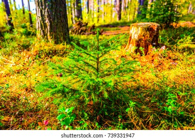 Young, sawn and mature tree lit by the sun in the forest. Focus on the foreground