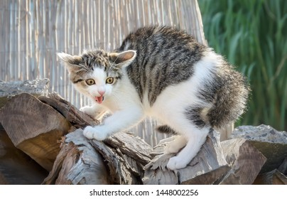 A young scared kitten, a tabby white European Shorthair, arches his back and hissing with opened mouth, the cat has wild staring eyes, pinned-back ears and puffed up his fur