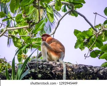 young, scared looking Proboscis Monkey in Bako National Park, Borneo, Sarawak, Malaysia, sitting on the tree branch, lots of plants around the monkey. Aloe vera plant on the left.