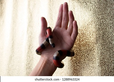 Young Scarlet kingsnake Lampropeltis elapsoides on woman hand. Nonpoisonous snake with a three colored, which characterizes mimicry. On a gold background