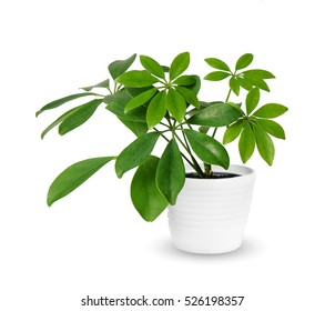 young-schefflera-potted-plant-isolated-260nw-526198357.jpg