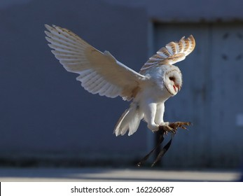 Young screaming barn owl landing on the blue background