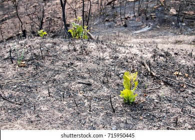 Young scrub oaks emerge from the ashes of a forest fire