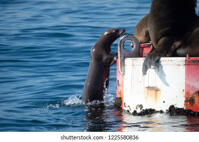 Young sea lion trying to climb aboard but appears to be no room.