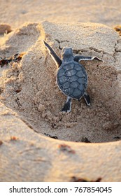 A young sea turtle just hatched struggling to climb a human footprint