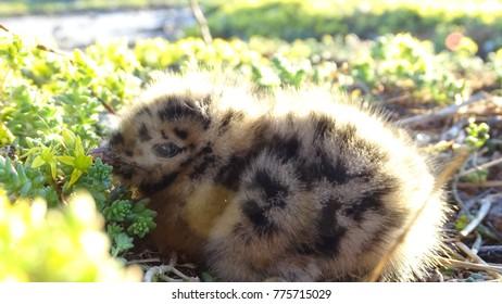 young seagull bird