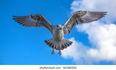 Young seagull in flight with blue sky and clouds