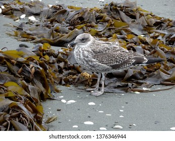 Young seagull with grey plumage foraging amongst kelp seaweed, Petone beach Wellington harbour New Zealand
