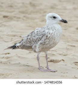 Young Seagull on a Beach.