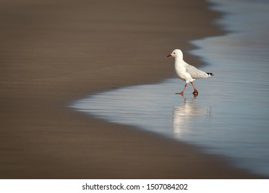 Young seagull on the beach. Cute and curious bird, walking on wet sand. Isolated natural shot. Reflection in the water.