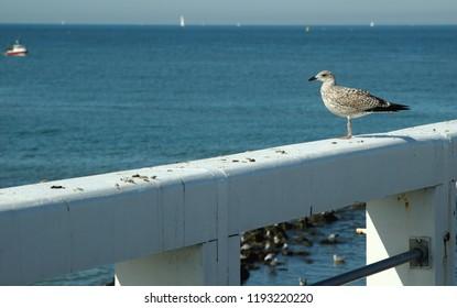 young seagull on the pier in Nieuwpoort, Belgium