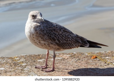 Young seagull on a wall near the coast