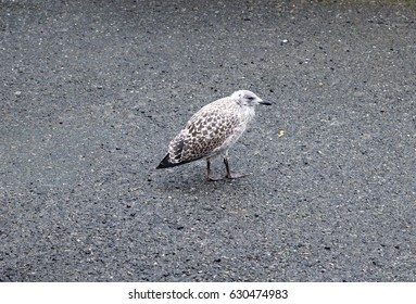 young seagull photographed in cornwall, uk