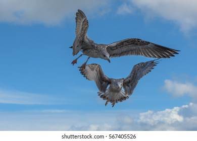 Young seagulls in flight with blue sky and clouds