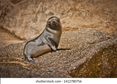 Young seal on the rocky coast of Abel Tasman National park in New Zealand