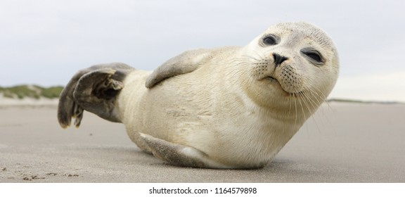 Young seal, Phoca vitulina, on the beach. North sea beach.