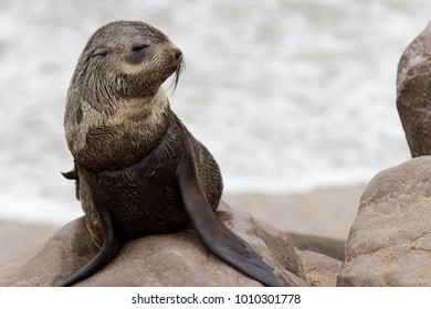 Young seal is posing for the photograph, Cape Cross, Namibia