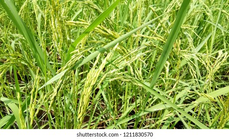 young seed paddy field