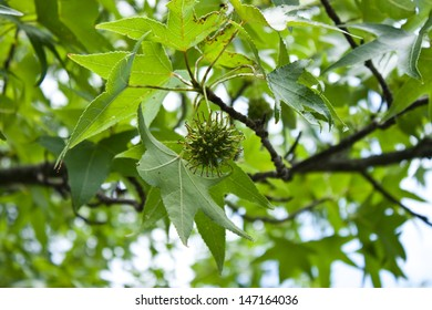 Young seed pod hanging from a sycamore tree