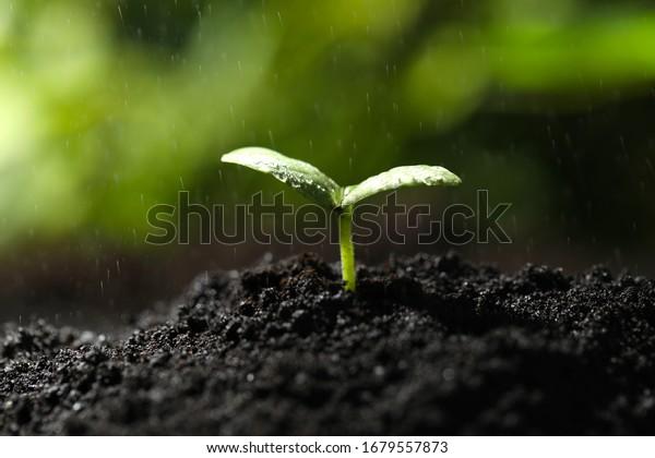 Young seedling in fertile soil under rain