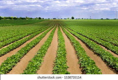 Young seedling field in spring. Spring seedlings in the field. Vegetables in the garden. Horticulture on fertile land.
