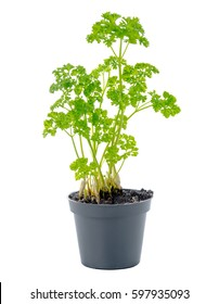 young seedling of fresh green parsley leaves in black flower pot is isolated on white background, close up