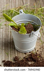 Young seedling growing in a soil in white metal pail
