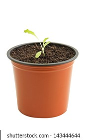 Young seedling of lettuce in pot isolated on white