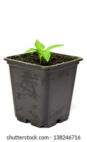 Young seedling pepper in a pot