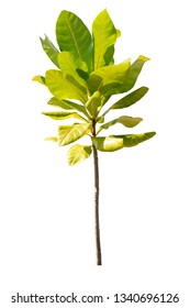 Young or seedling tree Avicennia alba plants used to grow in the mangrove forest. Isolated white background with clipping path.