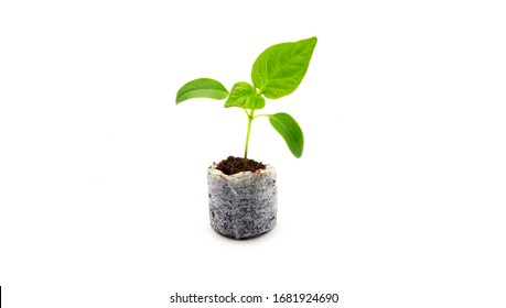 Young seedlings of bell pepper in a peat tablet isolated on a white background. Ecological home growing of pepper seedlings in a coconut compressed tablet indoors in winter and early spring.