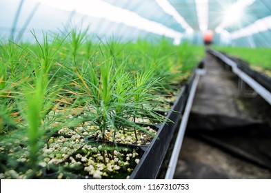 Young seedlings of pine. Seedlings of coniferous trees grown from seeds in greenhouse. Row young sprouts of pine with. Seedlings of young trees pines for forestry.