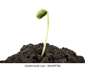 young seedlings in the soil soil on a white background closeup