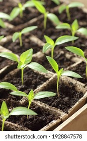 Young seedlings of sweet pepper on windowsill in the spring, rows of plants in cardboard peat pots, closeup, copy space, vertical, eco agriculture, house planting and homegrown vegetables concept
