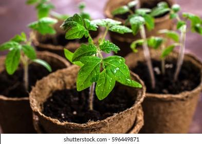 Jeunes plants de tomate avec gouttes d'eau dans des pots de tourbe. Mise au point sélective.