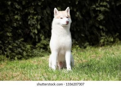 Husky cock