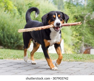Young Sennenhund, playing with long branch, playfull look in eyes