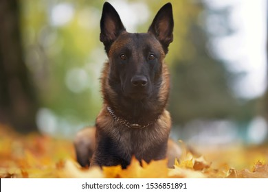 Young serious Belgian Shepherd dog Malinois with a chain collar lying down in fallen maple leaves in the park in autumn