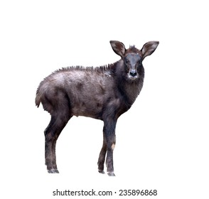 young serow isolated on  white background