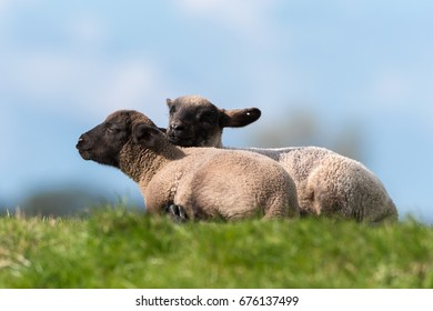 Young sheep with black head.