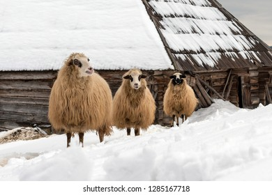 Young sheep in the mountains, in winter