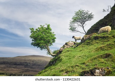 Young sheep on the edge of a cliff, Isle of Skye, Scotland.