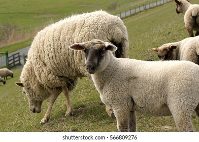 Young sheep standing with his mother