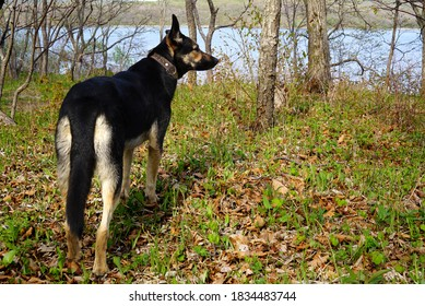 Young Shepherd Dog guards the territory. The pet stands in the autumn park and stares at the side